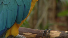 C/U of Blue Parrot pan up and right Stock Footage