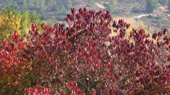 Deciduous tree with bright red leaves - stock footage