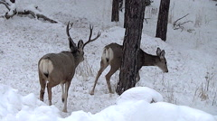 Three Year Old Mule Deer Buck Follows a Hot Doe During The Rut In a Snowy Woods Stock Footage