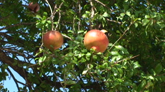2 pomegranates in a tree Stock Footage