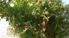 Pomegranate tree full of fruit (Punica Granatum) Stock Footage