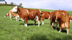 Cows on the field. - stock footage