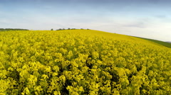 Drone flying above rapeseed crop fields Stock Footage