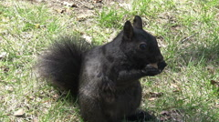 A black squirrel having a snack HD 720 footage - stock footage