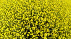 Drone rising above rapeseed crop fields Stock Footage
