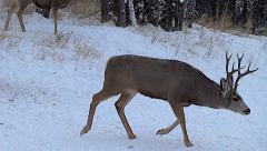 A Three Year Old Mule Deer Buck Follows a Hot Doe During The Rut Stock Footage