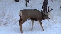 Three Year Old Buck in Rut Follows a Doe Stock Footage