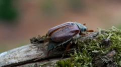 Maybug - Melolontha, found in may in germany - stock footage