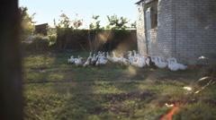 Ducks walking down poultry yard Stock Footage