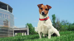Jack russel terrier licking its lips slow motion Stock Footage