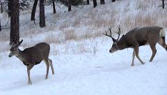 Three Year Old Buck in Rut Follows a Doe Stock Footage