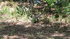 Green Iguana in a Forest Stock Footage