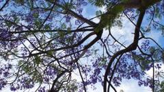 Springtime Jacaranda Blossoms in Los Angeles (4K) Stock Footage