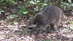 Raccoon in a Forest - Close Up - stock footage