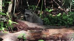 Raccoon Behind a Tree Log Stock Footage