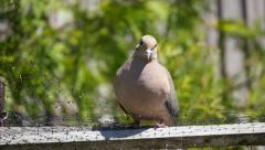 Light Brown Dove Looking Around on Wooden Fence Stock Footage