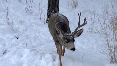 High Angle Shot of Three Year Old Buck Following a Coy Doe - stock footage