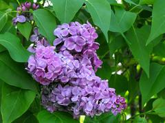 Lilacs (Single Bunch) Stock Photos