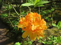 Blooming Rhododendron 'Chikor' in park  Stock Photos