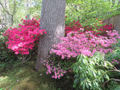 "Blooming Azalea's in Japanese garden in ""park Clingendael""in the Haque (Holland) Stock Photos"