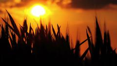 Wheat Heads Silhouette in Cultivated Agricultural Field in Sunset Stock Footage