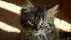 Tabby kitten looking at camera Stock Footage