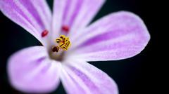 Pollen on purple bloom Stock Photos