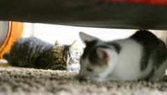 Cat aggression: tabby kitten attacks white kitten - stock footage