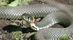 Snake basking in the sun, and his tongue Stock Footage