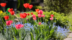 Red tulips in flowerbed - stock footage