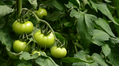 Farmer hands revising tomatoes that hanging at branch in greenhouse Stock Footage