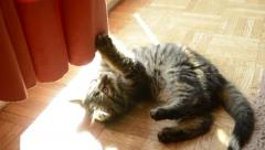 Funny cats: tabby kitten plays with curtain Stock Footage
