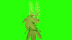 Blooming chestnut branches flower buds green screen, Full HD. (Castanea Mill.) Stock Footage