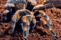 Mexican red knee tarantula - stock photo