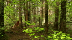 Pacific Northwest Rainforest Dolly Shot Stock Footage