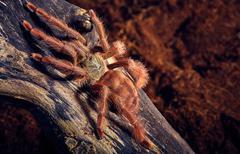Tarantula Tapinauchenius gigas Stock Photos
