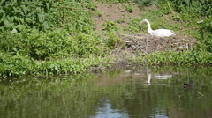 Swan building a nest on an English river side Stock Footage