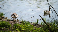 Canadian geese and their goslings swimming Stock Footage