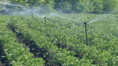 Agriculture, potato field watering, HD footage Stock Footage