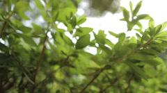 Green Foliage - stock footage