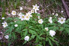 Wild flowers anemone nemorosa Stock Photos