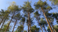 Pine forest in the spring afternoon Stock Footage