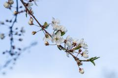 Natural blossom cherry flowers branch Stock Photos
