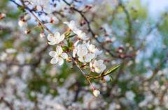 Natural blossom cherry flowers branch at sunset Stock Photos