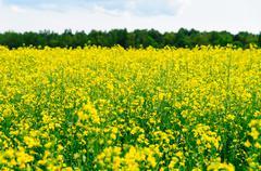 Close-up on yellow oilseed rape field - stock photo