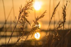 Reed close-up at sunset - stock photo