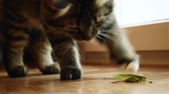 Cat annoying a locust - stock footage