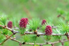 Ovulate cones (strobiles) of larch tree, spring, beginning of May Stock Photos
