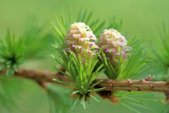 Ovulate cones (strobiles) of larch tree, spring, beginning of May - stock photo