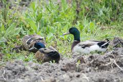 Ducks, Mallard, Anas platyrhynchos - stock photo